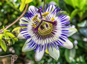 3 zioła, które pozwolą Ci się uspokoić, męczęnica